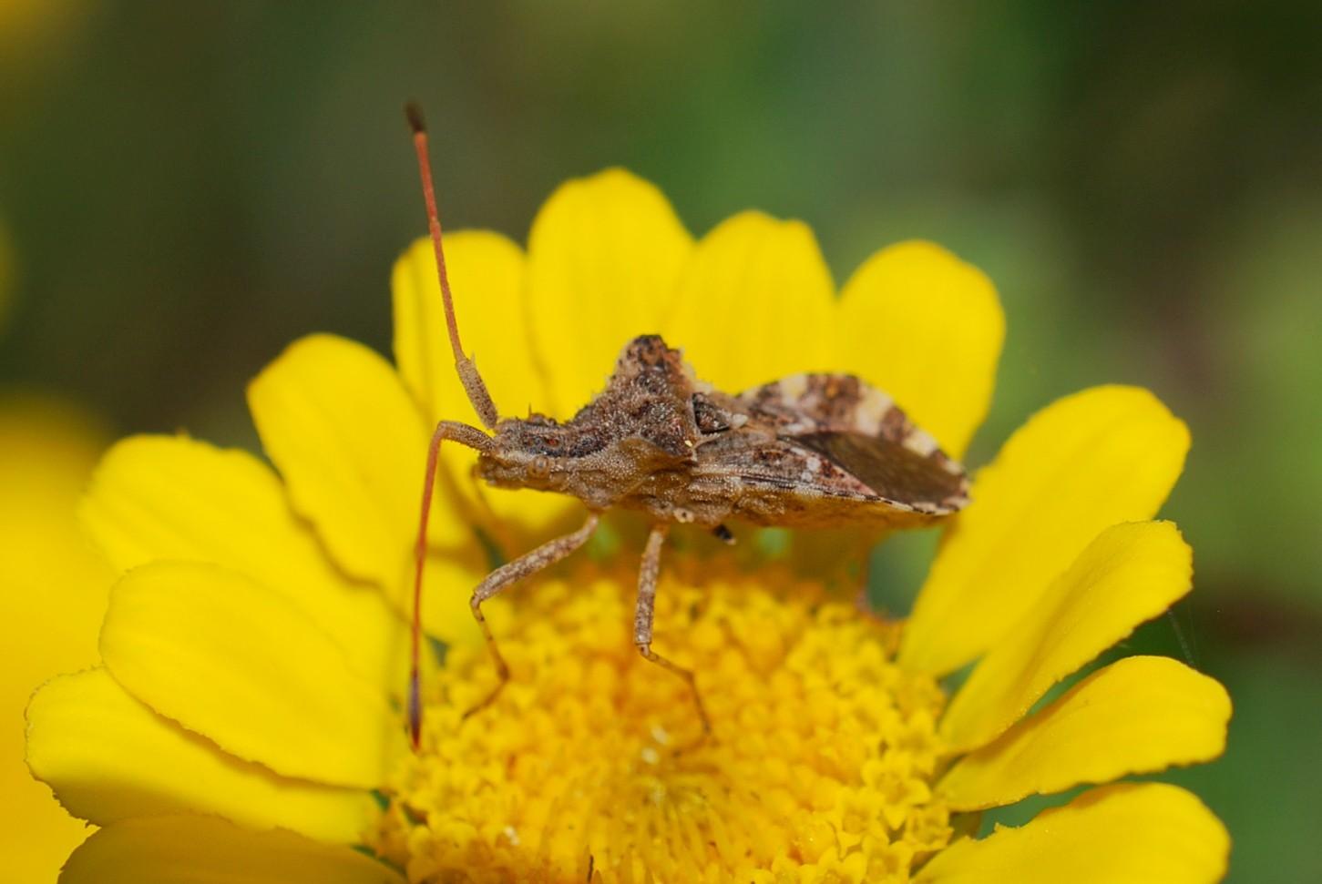 Centrocoris sp. - Coreidae
