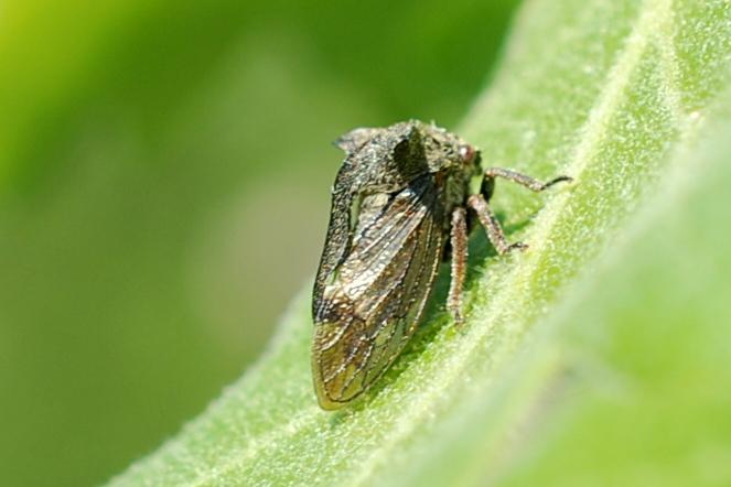 Centrotus cornutus - Membracidae