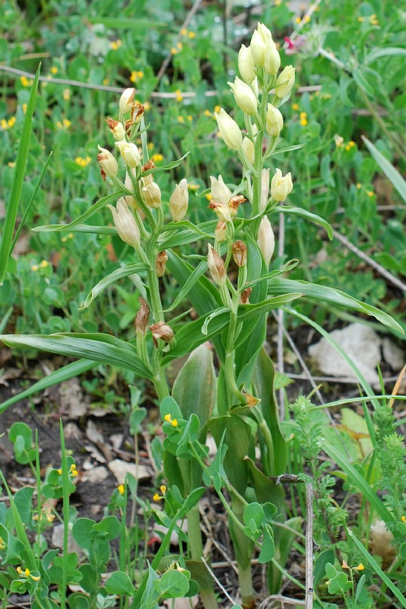 Cephalanthera damasonium 18