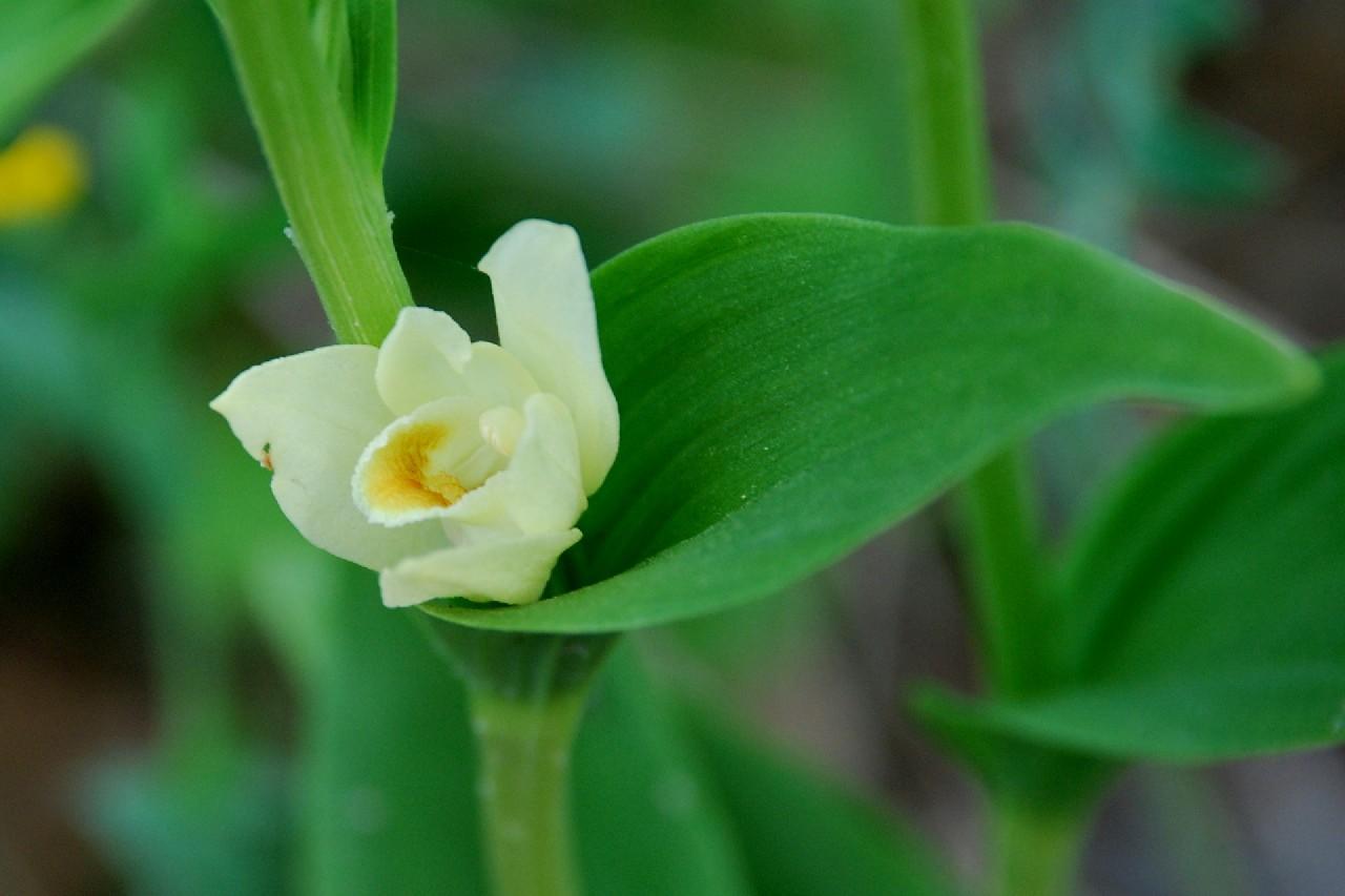 Cephalanthera damasonium 7