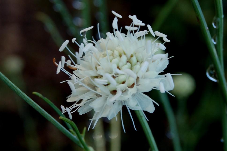 Cephalaria leucantha 2