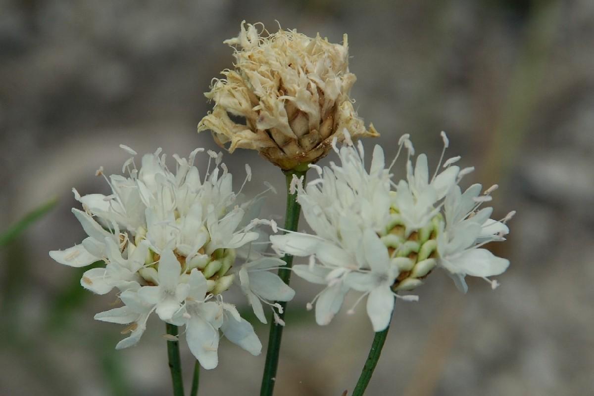 Cephalaria leucantha 4