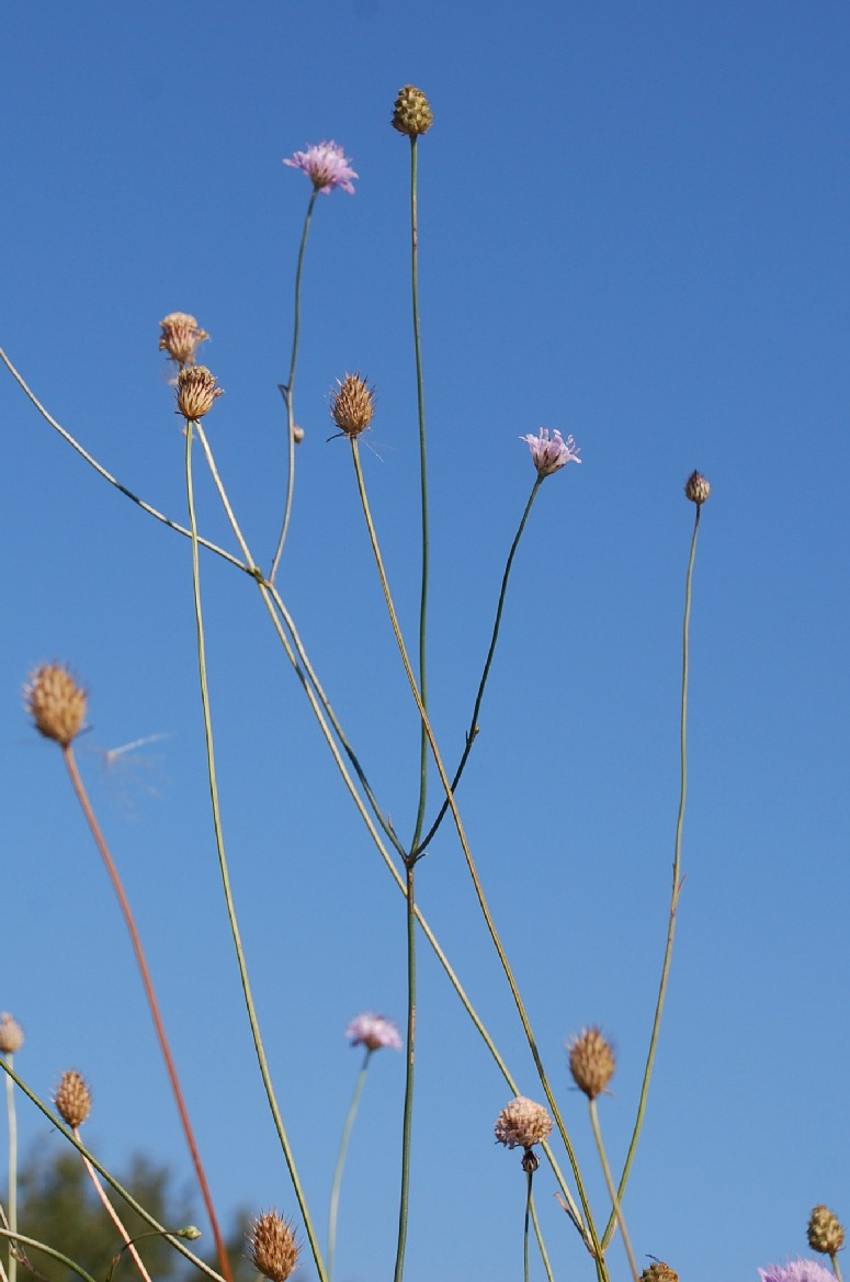 Cephalaria transsylvanica 12