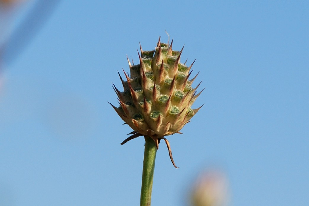 Cephalaria transsylvanica 16