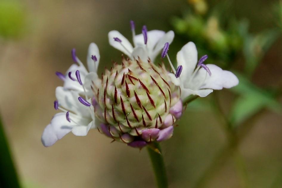 Cephalaria transsylvanica 2