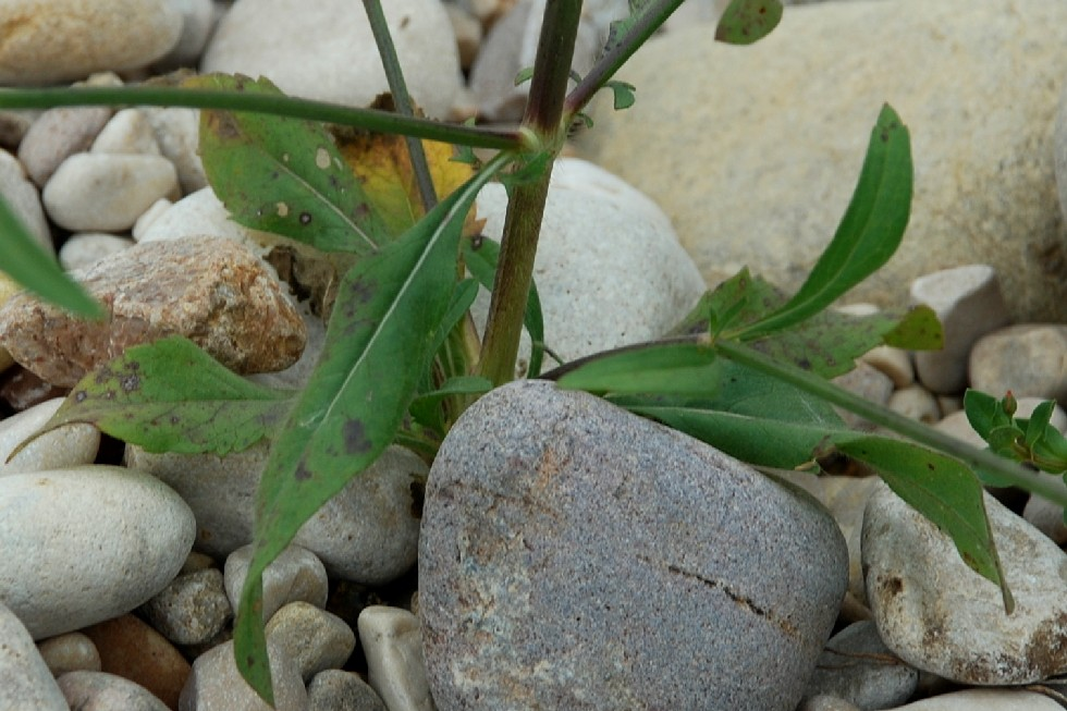 Cephalaria transsylvanica 21