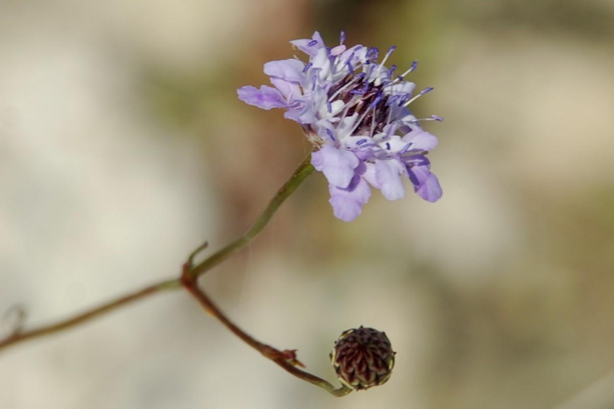 Cephalaria transsylvanica 24