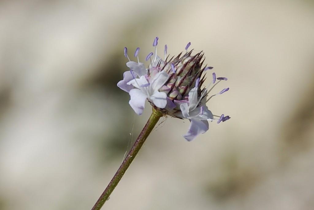 Cephalaria transsylvanica 25