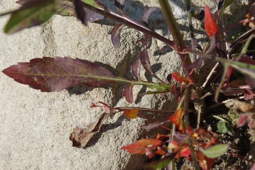 Cephalaria transsylvanica 27