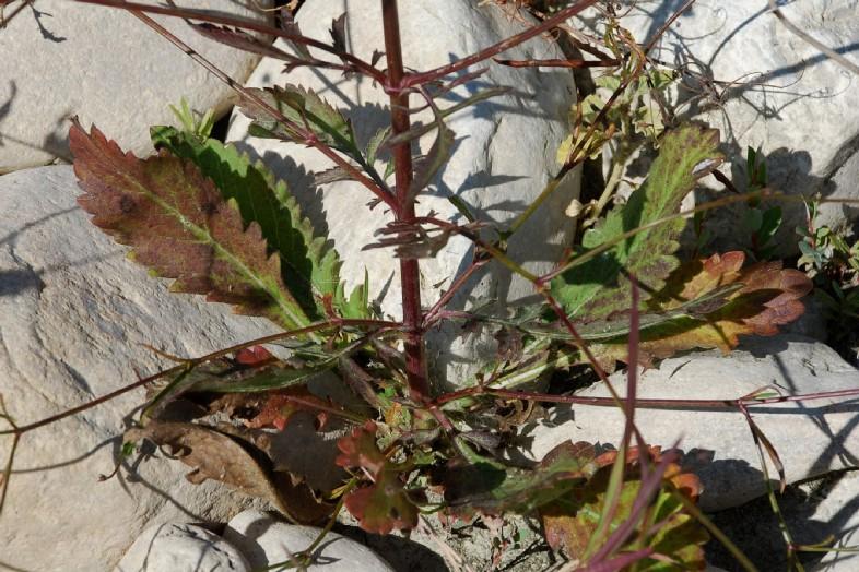Cephalaria transsylvanica 28