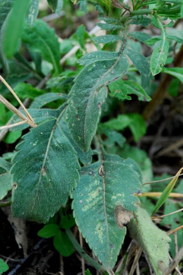Cephalaria transsylvanica 4