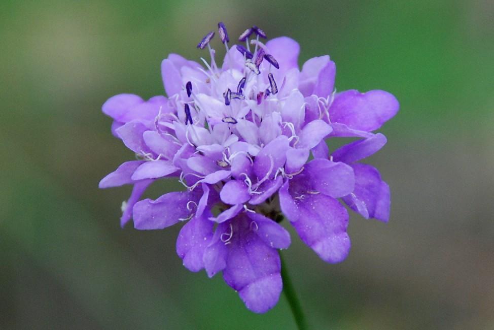 Cephalaria transsylvanica 5