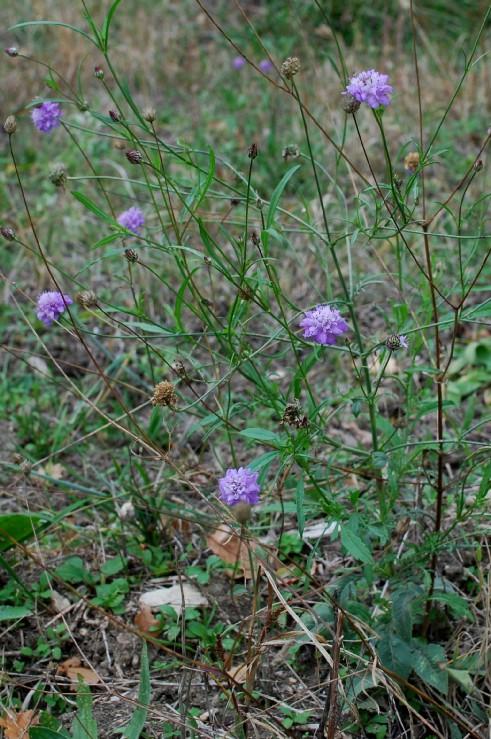 Cephalaria transsylvanica 6