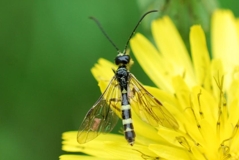 Cephidae