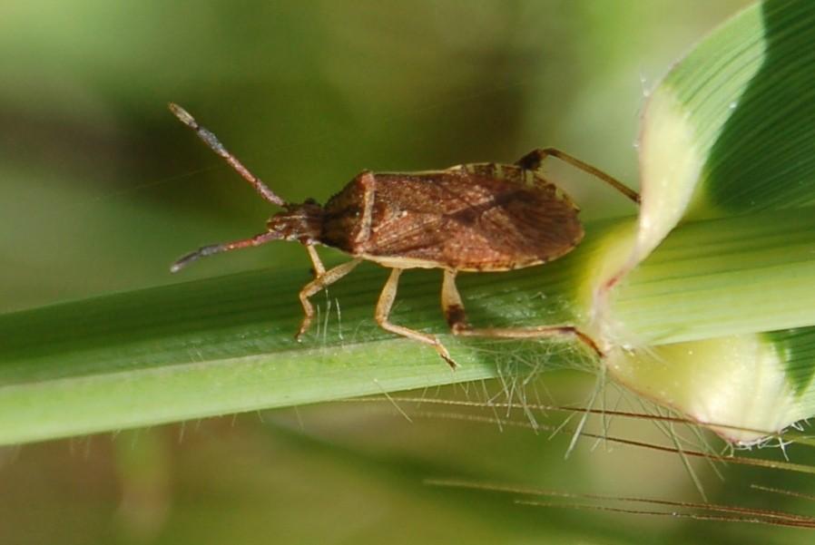 Ceraleptus sp. - Coreidae