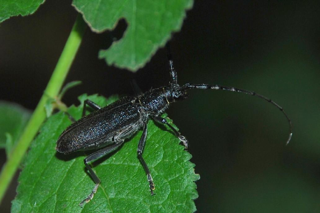 Cerambyx cerdo - Cerambycidae