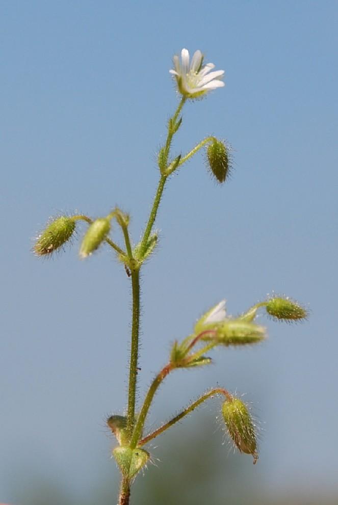 Cerastium brachypetalum subsp. luridum
