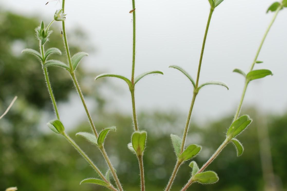 Cerastium brachypetalum subsp. luridum 15