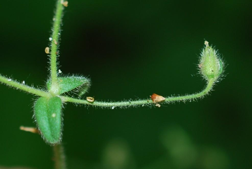 Cerastium brachypetalum subsp. luridum 16