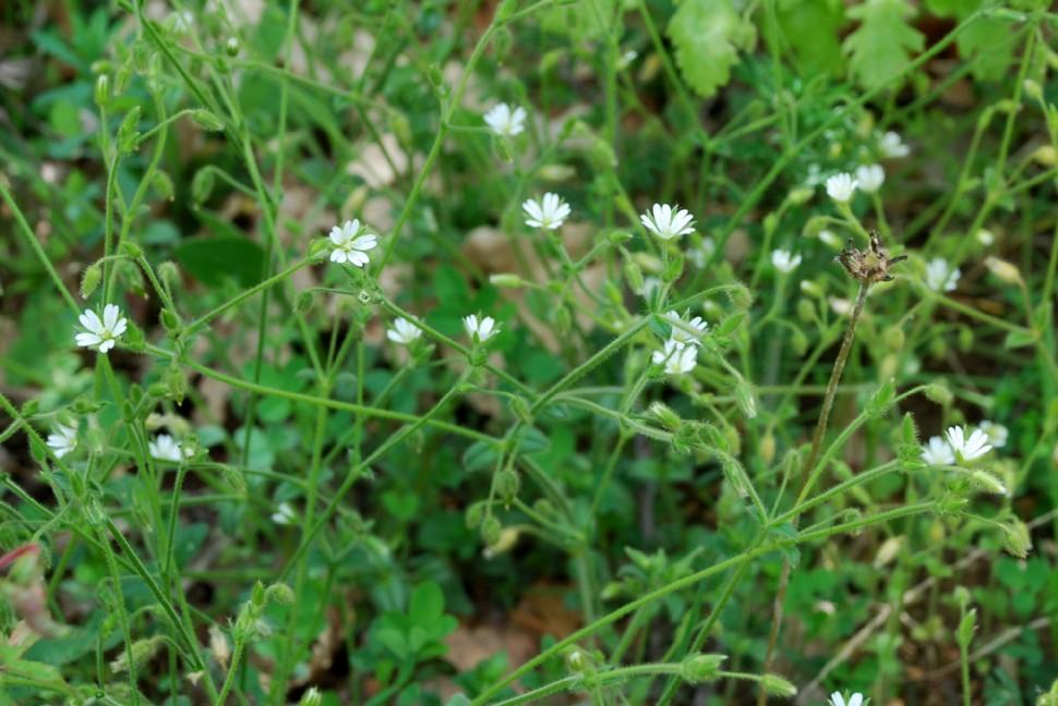 Cerastium brachypetalum subsp. luridum 5