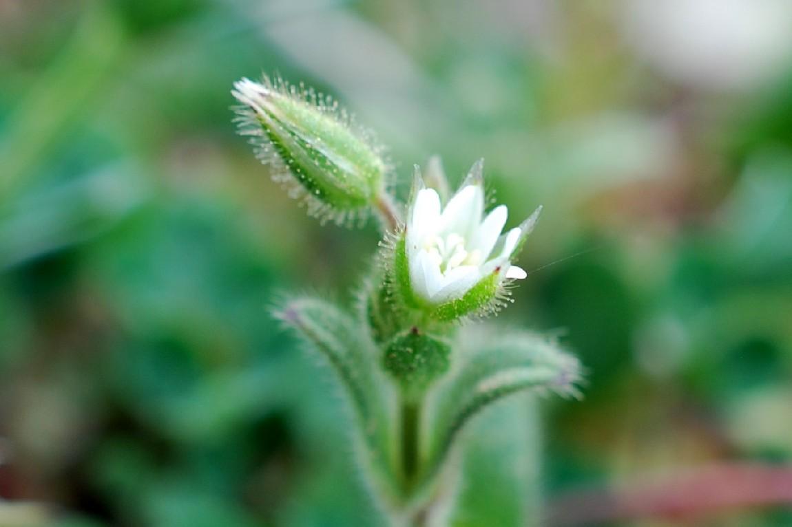 Cerastium pumilum subsp. glutinosum 10