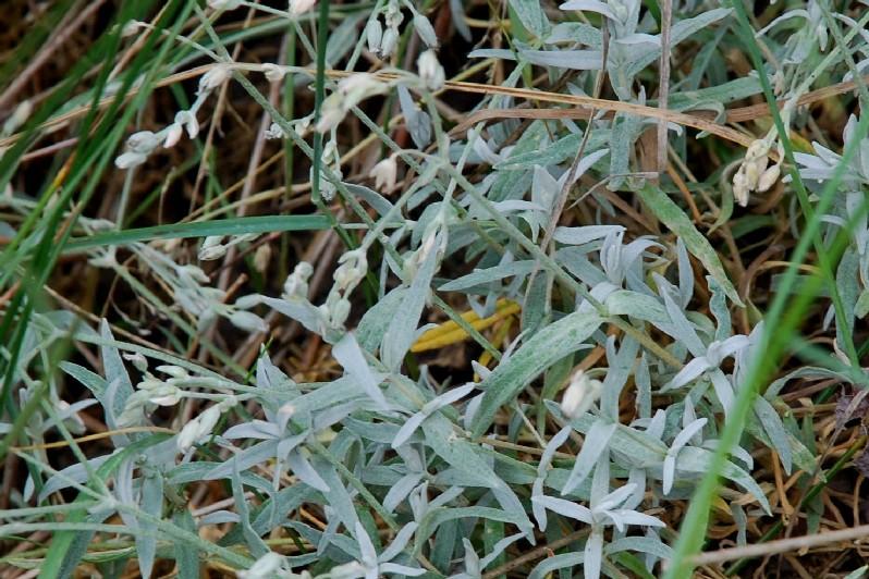 Cerastium tomentosum 11