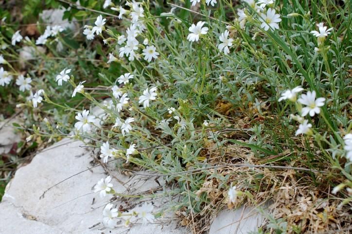 Cerastium tomentosum 22