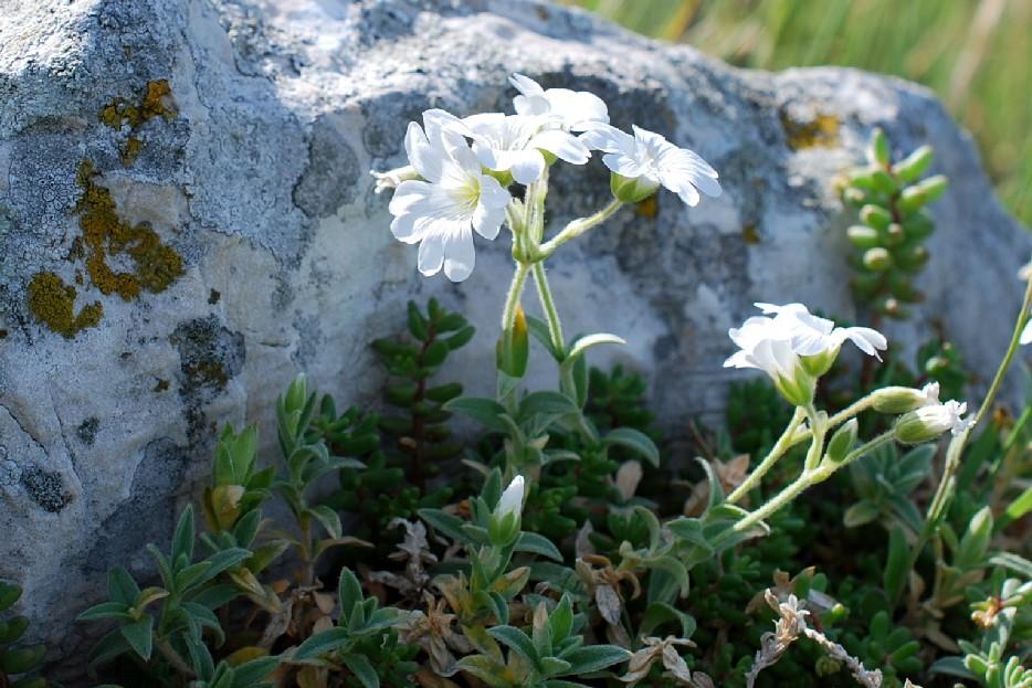 Cerastium tomentosum 24