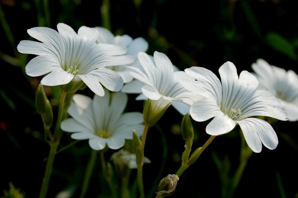 Cerastium tomentosum 4