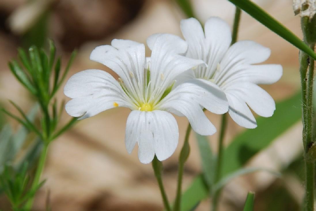 Cerastium tomentosum 8