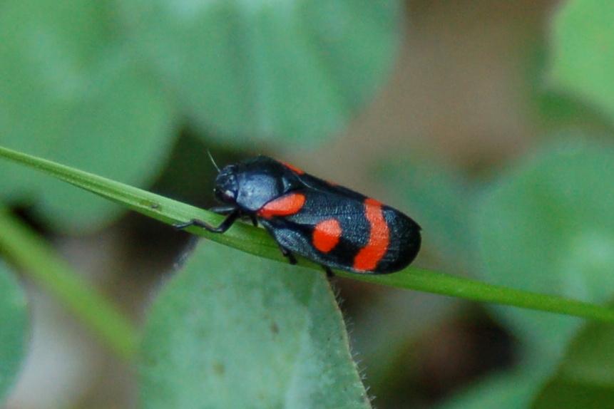 Cercopis sp. - Cercopidae