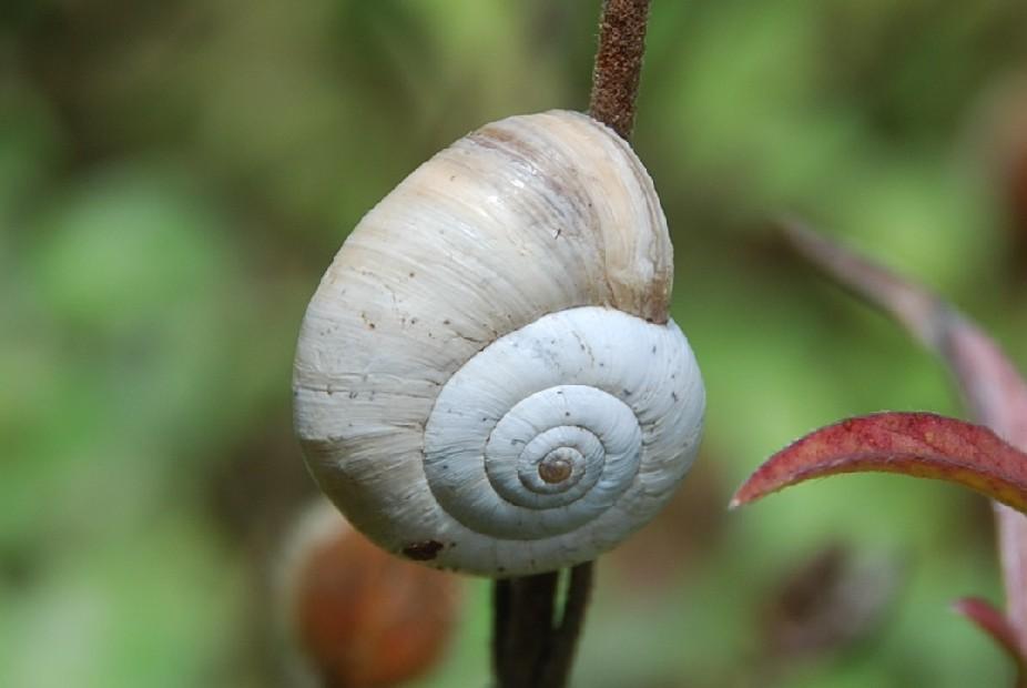 Cernuella sp. - Hygromiidae