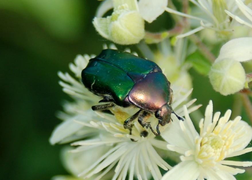 Cetonia aurata - Cetoniidae
