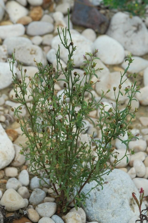 Chaenorrhinum minus subsp. minus 11