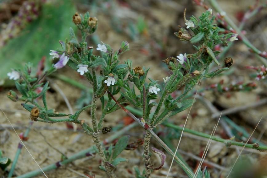 Chaenorrhinum minus subsp. minus 8