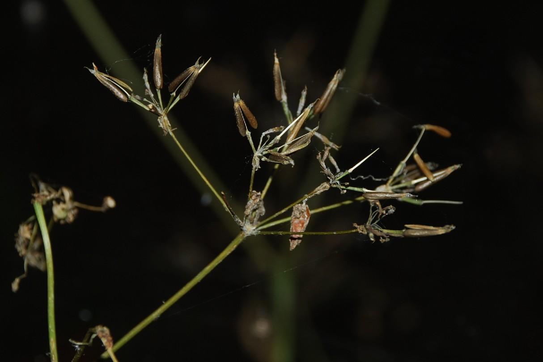 Chaerophyllum aureum 10