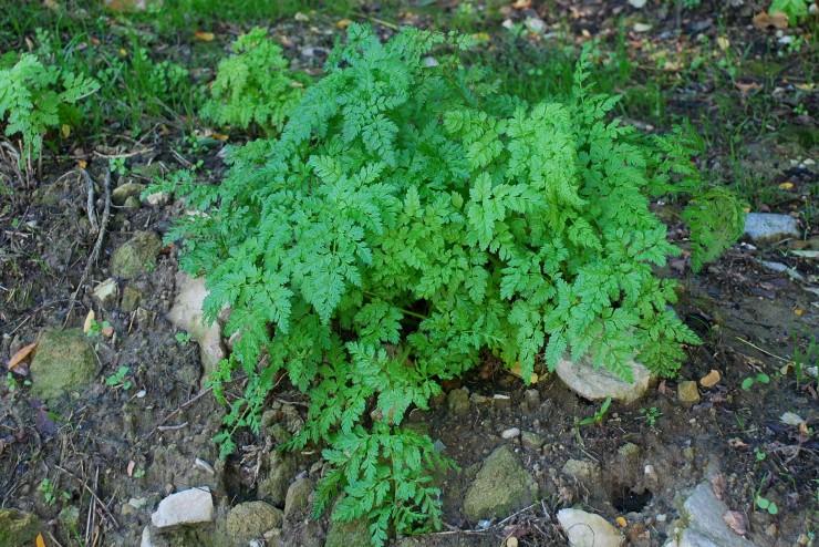 Chaerophyllum aureum 12