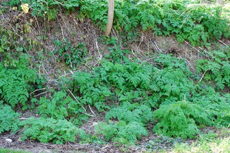 Chaerophyllum aureum 14