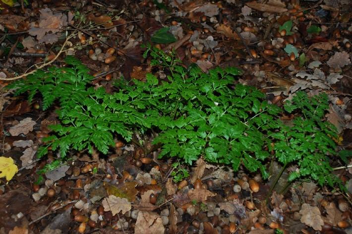 Chaerophyllum aureum 9