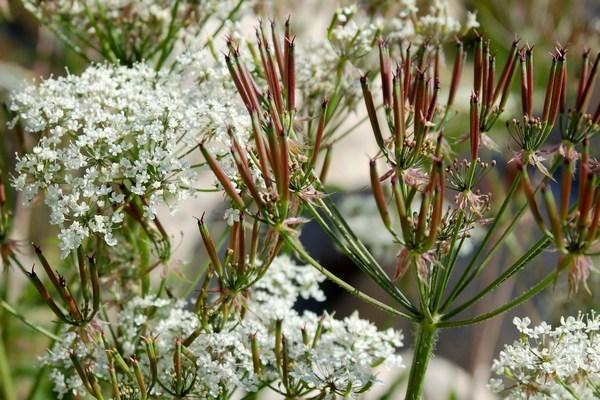 Chaerophyllum hirsutum subsp. magellense