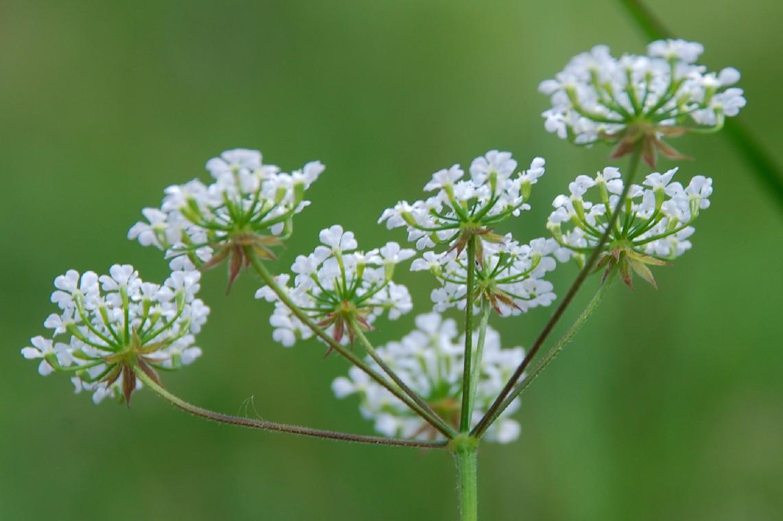 Chaerophyllum temulum 11