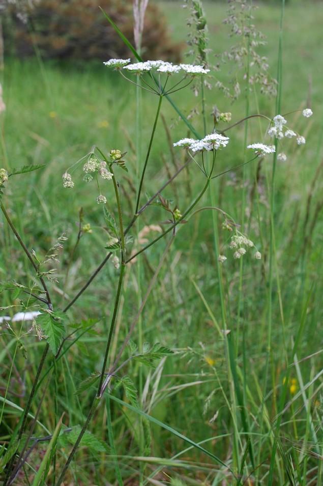 Chaerophyllum temulum 12