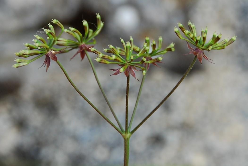 Chaerophyllum temulum 14