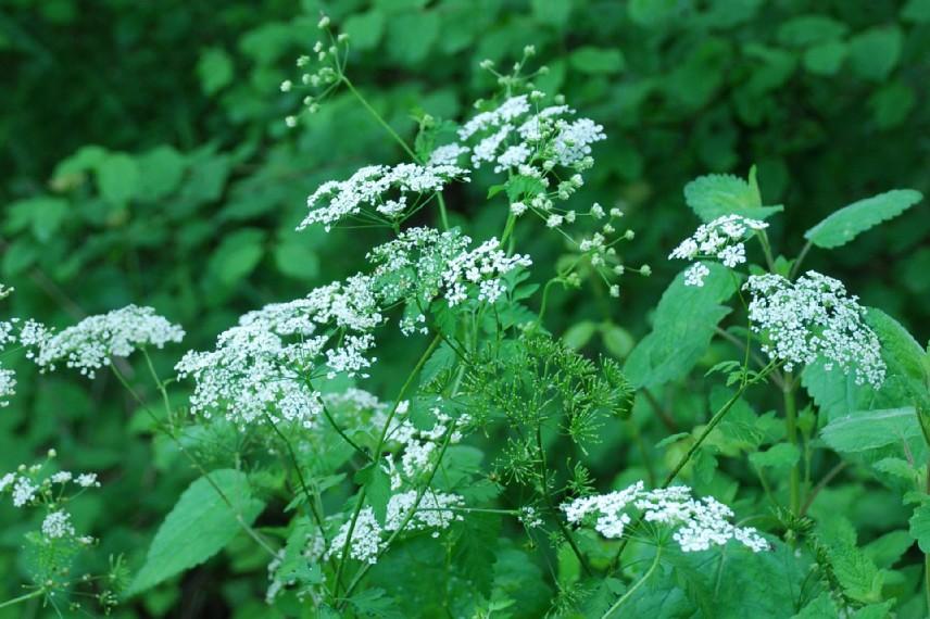 Chaerophyllum temulum 19