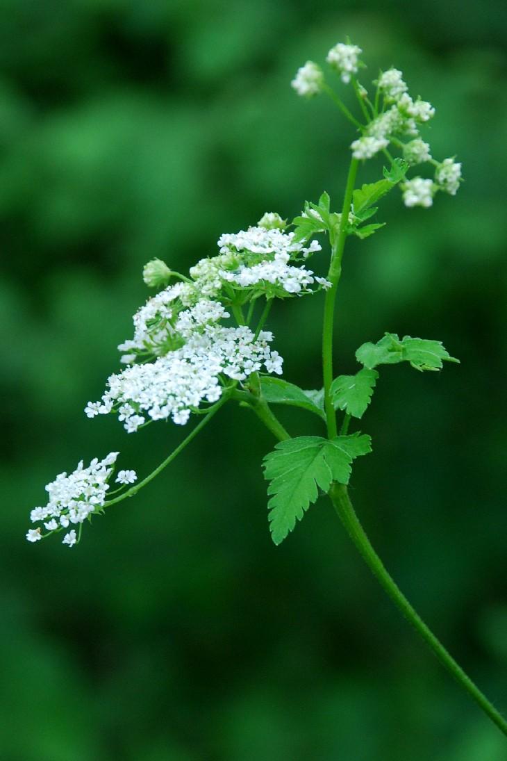 Chaerophyllum temulum 20