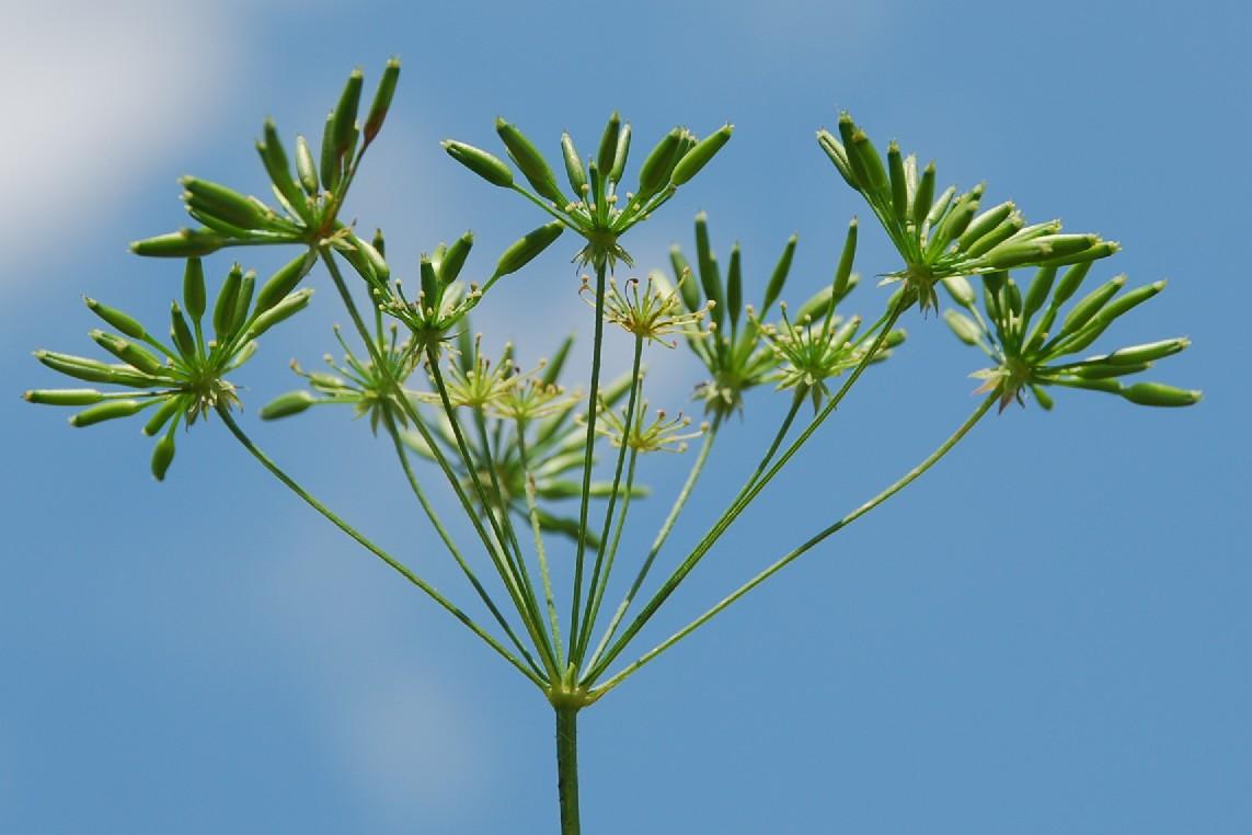 Chaerophyllum temulum 26