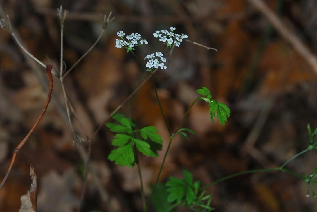 Chaerophyllum temulum 28