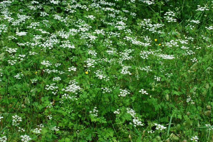 Chaerophyllum temulum 31