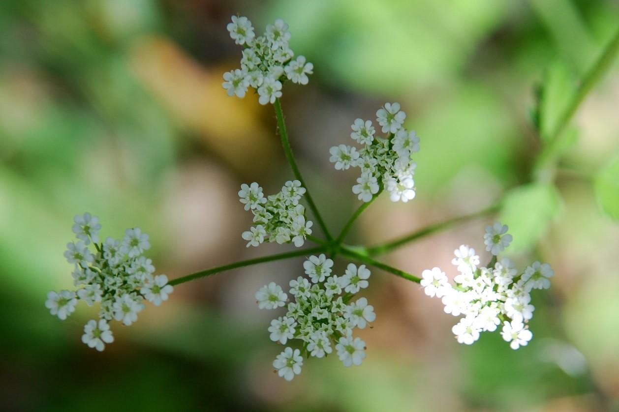 Chaerophyllum temulum 5