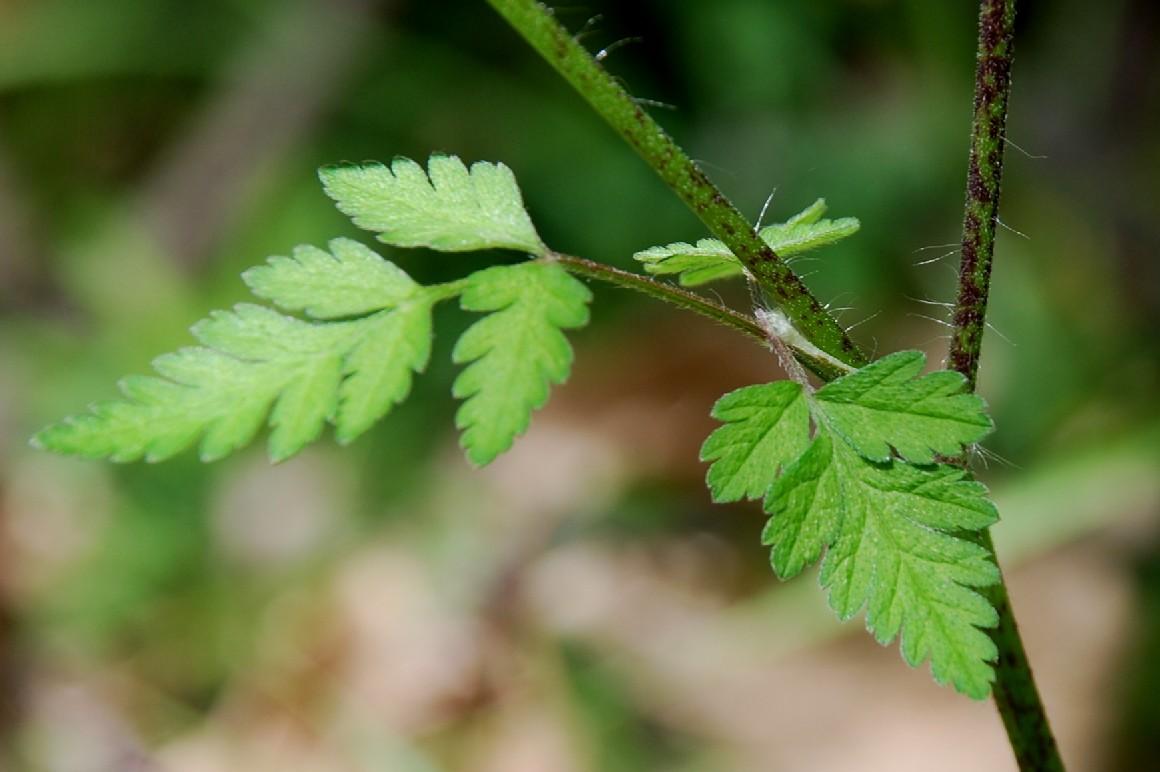 Chaerophyllum temulum 7